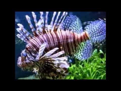 les 10 plus beau poissons au monde youtube. Black Bedroom Furniture Sets. Home Design Ideas