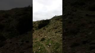Κρητικοί Λαγωνικοι Primitive Cretan Hounds