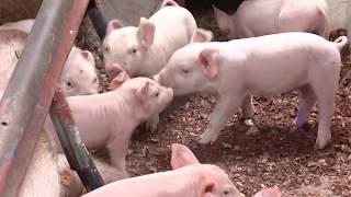 Enfermedades de los cerdos según sus etapas | La Finca de Hoy
