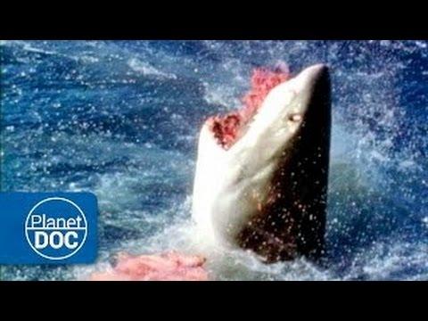 Australia. The Great White Shark | Deadly Attack