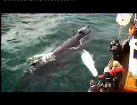 whale watching iceland. Whale Watching with the Gentle