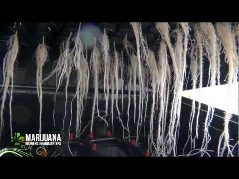 Transplanting Marijuana Clones and Seedlings