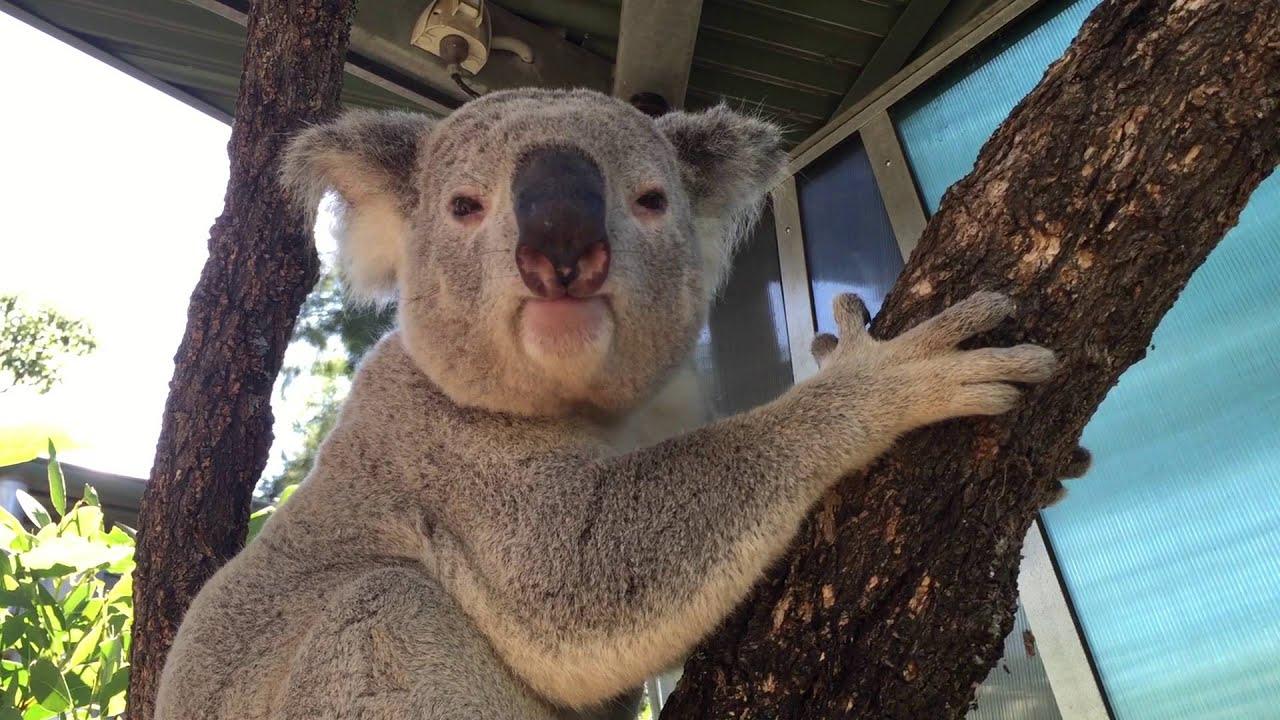 Beteg béka hangja vagy különleges röfögés? Ez a koala párzási hívása - videó