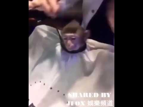 VIDEO LUCU MONYET POTONG RAMBUT