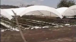 Macrotunel (Video Inductivo): Producción Tecnificada de Fresa en Zamora, Michoacán.