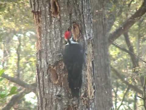 Pileated (not Ivory-billed)  Woodpecker 2010 Beaufort SC.    by  Fred Heys