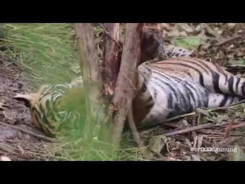 evakuasi harimau sumatera *forpartner