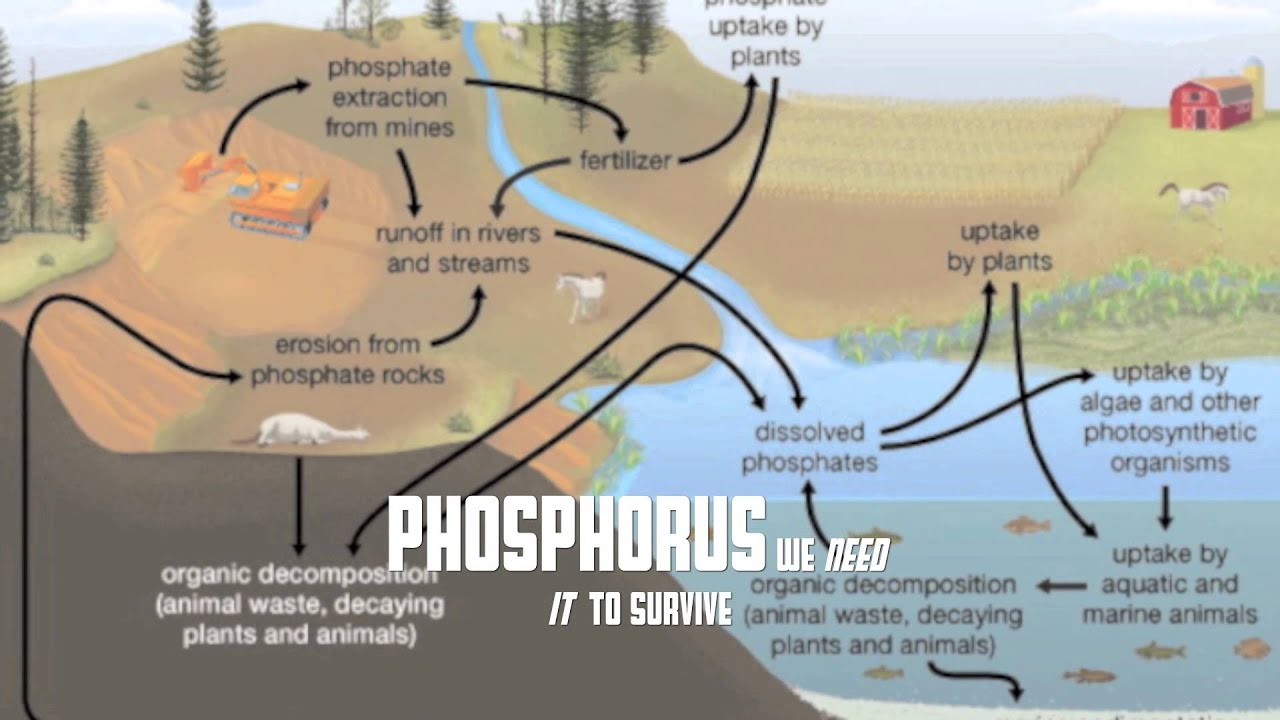 Phosphorus Cycle Steps Definition amp Diagram  Video