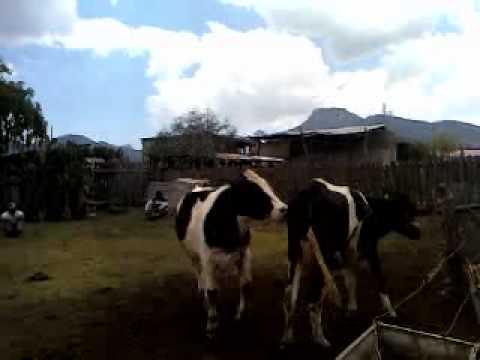 vacas cojiendo