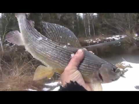 Как выглядит крупный хариус осенью / Рыбалка на поплавок / Осенний наряд хариуса