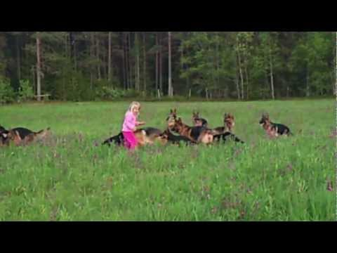 Litle girl 5 years playing with 14 german shepherds.