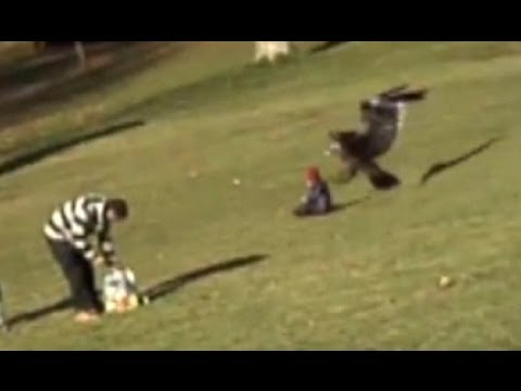 Golden eagle snatches child: Amazing video or elaborate fake...