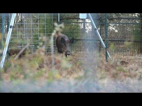 Hog Trapping - Four Legged Enemies Part 2 - The Management Advantage #28