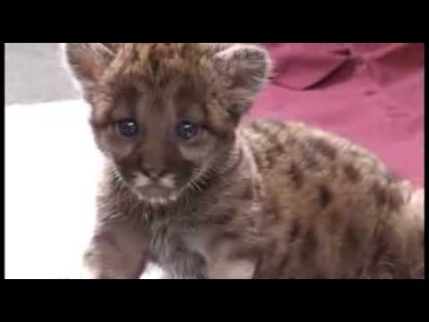 Rescued FL Panther Kitten Feb. 2014