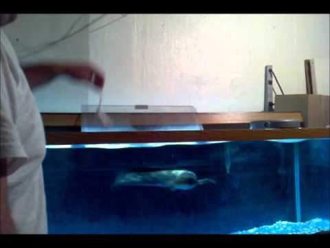 hand feeding air snakehead 2 mice