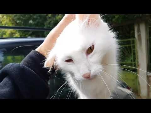 Бяла котка Турска ангора  а.С.м