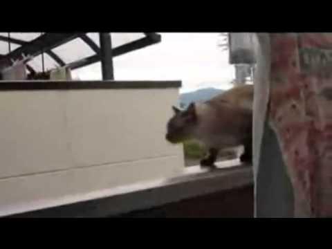 Fat Cat Fail Fat Cat Jump Fail