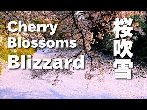 桜吹雪の鶴ヶ城のお堀・福島県 Cherry blossoms blizzard  in Tsurugajo castle moat 桜便り