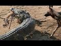 ライオン、ヌー、シマウマ、バッファロー、ワニVs野生の犬