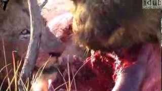 Male Lions Eating a HIPPO!! HD
