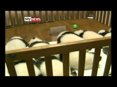 Giant Panda Cubs Go On Display In China