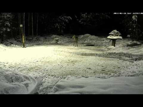 Forest Cam, 26 Jan, Deer video