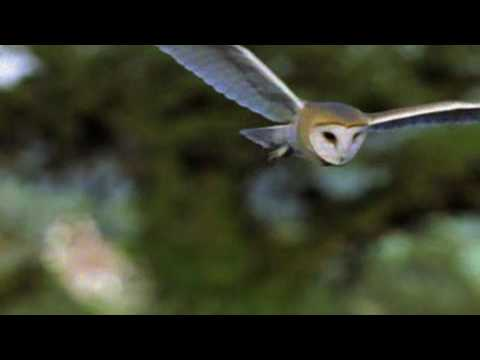 An Introduction to the Barn Owl