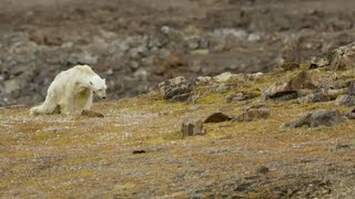 Footage of starving polar bear exposes climate change impact by : Guardian News