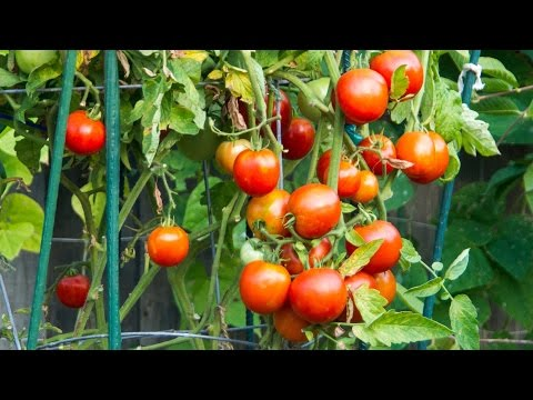 Tomato Cages, Trellis, Stakes Reviewed - Best supports for your tomato plants