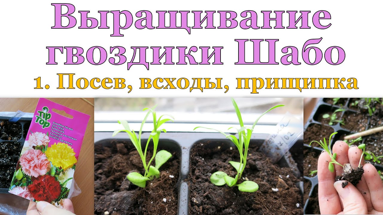 Сажать гвоздику семенами осенью 12