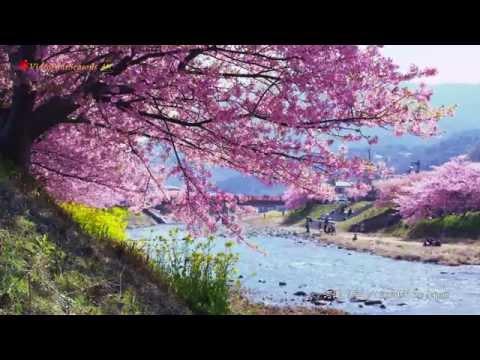 河津桜 伊豆河津 Cherry blossoms in Kawazu Izu 【4K UHD】癒し 美しい日本の風景 The beautiful scenery of Japan