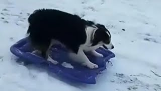 Dog Drags Sled up Snowy Hill and Goes on a Wild Ride