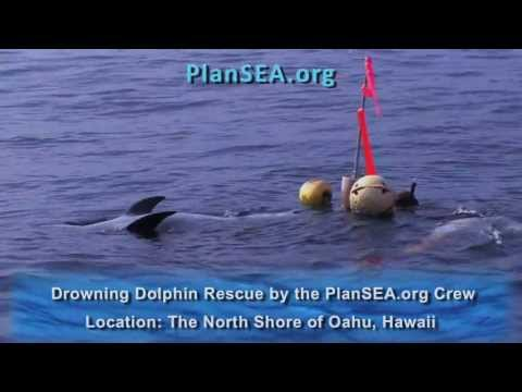 DROWNING DOLPHIN RESCUE by the PlanSEA.org Crew