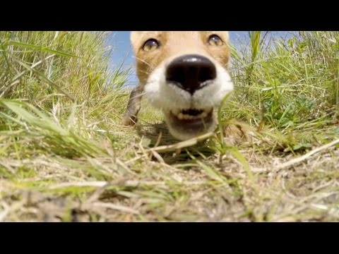 FOX KILLS AND EATS my gopro
