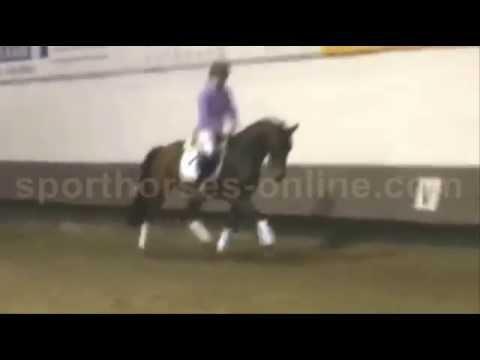 www.sporthorses-online.com 2009 14.2 hh Hanoverian Hunter / Dressage pony gelding