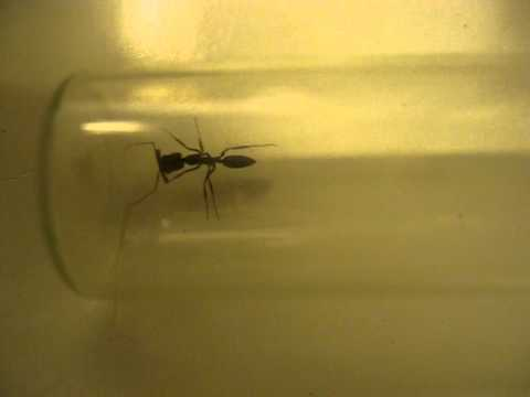 Trap Jaw Ant Queen Formicidae Trap-jaw Ant in