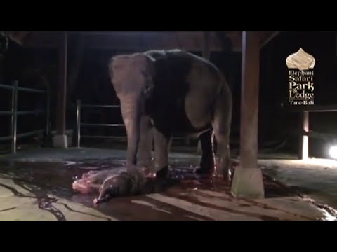 Рождение слонёнка