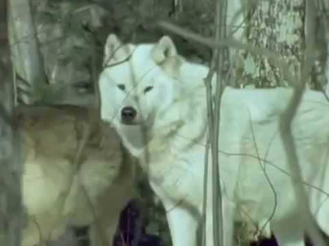 Воскресение, Константин Никольский - Степной волк