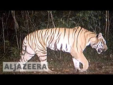 Endangered tigers of Thailand