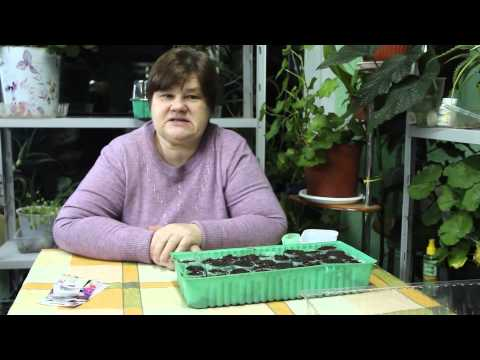 Как вырастить красавицу петунию?