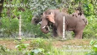 Elephant in Korba