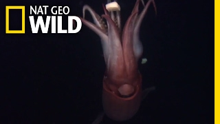 Squid: The Deep Sea Devils | Deep Sea Killers