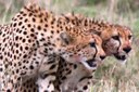 Cheetah vs Hyena (w/ kill) Video
