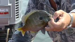 Bluegill Fishing and Cleaning on Kentucky Lake