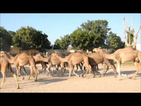 Biblical Home coming of Camels