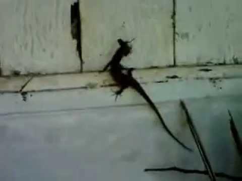 Lizards Eat Roaches Lizard Eat Roach Amazing