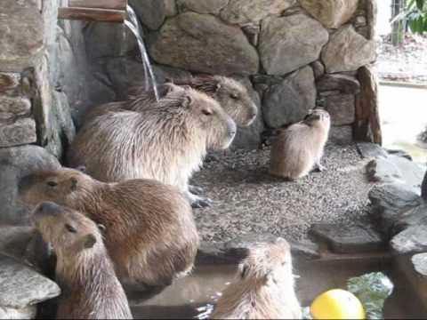 """ざぼん湯に入りたい仔カピバラ Baby capybara tries """"Zabon Bath"""""""