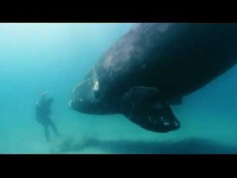 Baleine franche australe.Southern right whale (Eubalaena australis)