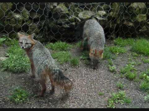 Gray Fox Mates 6 27 09