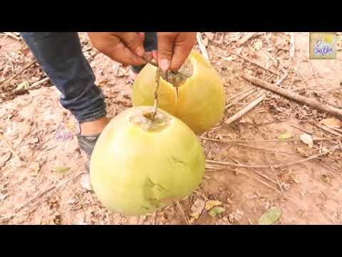 Thưởng thức dừa miền tây hái trên cây quá đã